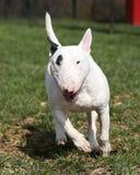 Bull terrier spring till och med parkera Royaltyfri Foto