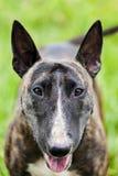 Bull terrier stående fotografering för bildbyråer
