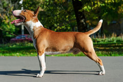Bull terrier standing Stock Photo