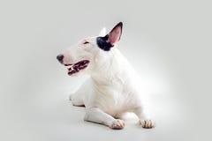 Bull terrier studio poratrait Stock Image