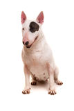 Bull terrier Royalty Free Stock Photo