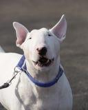 Bull terrier szczekanie przy kamerą Zdjęcia Stock