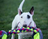 Bull Terrier with a tug toy Royalty Free Stock Image