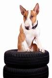 Bull-Terrier und Räder Stockbild