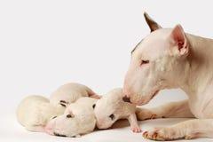 Bull terrier valpar, 10 gamla som dagar ligger i sida över vit bakgrund fotografering för bildbyråer