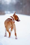 Bull terrier on walk Stock Image