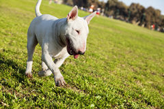 Bull Terrier Walking in the Park. A Bull Terrier walking happily on the grass at an urban park Stock Images
