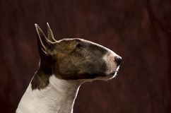 Bull Terrier head shot Stock Photo