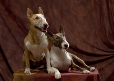 Bull Terriers couple Royalty Free Stock Photos