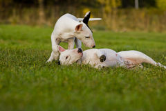 Bull terriers in the grass royalty free stock images