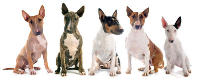 Bull terriers Royalty Free Stock Photos