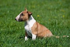 Bull-Terrierwelpe lizenzfreie stockbilder