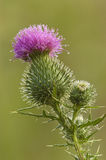 Bull Thistle Blossom. Close-up of a Bull Thistle, Cirsium vulgare, blossom with dew Royalty Free Stock Image