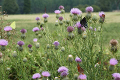 Bull Thistle and Butterflies. This is a patch of Bull Thistle wildflowers, Cirsium vulgare, and a variety of butterflies, spicebush swallowtails, fritillaries stock photography