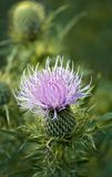 Bull Thistle (Cirsium vulgare) Royalty Free Stock Photos
