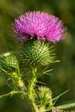 Bull Thistle - Cirsium vulgare. Close up of a Bull Thistle flower. Also known as Common or Spear Thistle. Todmorden Mills, Toronto, Ontario, Canada Stock Photo
