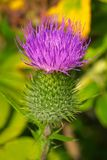Bull Thistle - Cirsium vulgare. Close up of a pink Bull Thistle flower. Also known as Common Thistle and Spear Thistle. Todmorden Mills Park, Toronto, Ontario stock images