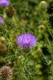 Bull thistle. Cirsium vulgare weed. A bull thistle, also know as the sots, Scottish, or scotch thistle Stock Photo