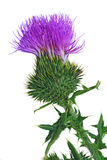 Bull Thistle flower Stock Photo