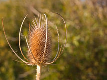 Bull Thistle Seed Head Royalty Free Stock Photography