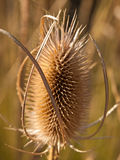 Bull Thistle Seed Head Royalty Free Stock Photos