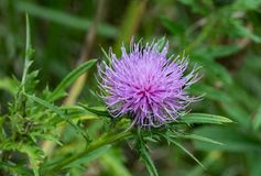 Bull Thistle Wildflower Royalty Free Stock Photography