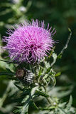 Bull Thistle Wildflower Royalty Free Stock Image