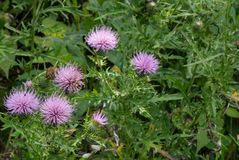 Bull Thistle Wildflowers Royalty Free Stock Image