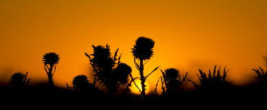 Bull Thistles Silhouetted Against a Morning Sky Royalty Free Stock Images