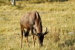 Bull Topi African Antelope Stock Photos