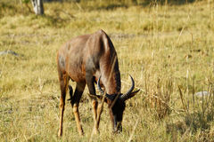 Bull Topi African Antelope. Big elegant male Topi antelope grazing on the open African plains Stock Photos