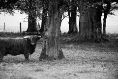 Bull and tree. A large bull standing next to a tree in a field or pasture.  Black and white modified Stock Photos