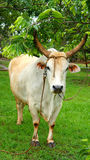 The bull at the tree Royalty Free Stock Photography