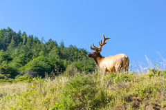 Bull Tule elk  in Siskiyou Wilderness, North California Royalty Free Stock Photography