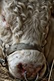 Bull. 2014 Tuscany Maremma Italy Macro Royalty Free Stock Image