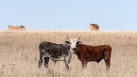 Bull with two bodies in the field. Bull and cow with two bodies and only one head in the field royalty free stock image