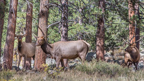 Bull And Two Cow Elks, Rocky Mountain National Park, CO Stock Photography
