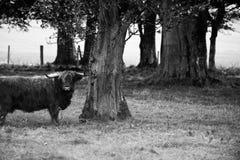 Bull und Baum stockfotos