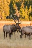 Bull-und Kuh-Elche in der Furche Lizenzfreie Stockfotografie