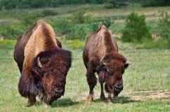 Bull-und Kuhbüffel Stockfoto