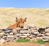 Bull und Steinzaun. Lizenzfreies Stockfoto