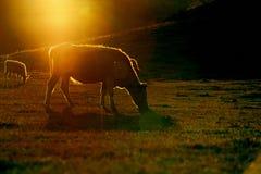 Bull under sun. A bull stand against the sun light Stock Photo