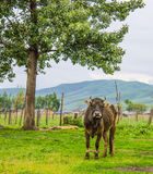 Bull under tree Stock Images