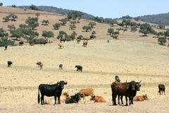 Bull-Vieh schwarzer Toro in Südspanien Stockfotografie