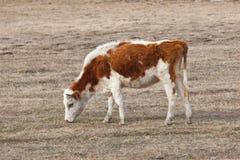 Bull-vitela Foto de Stock