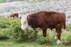 Bull-vitela Fotografia de Stock