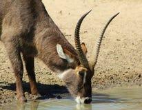 Bull Waterbuck - Ripples and Ribbed Stock Image