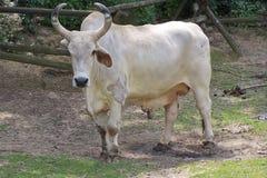 Bull. White bull by the horns long Stock Photography