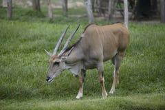 Bull wild life Stock Images