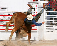 Bull Wins. Bull rider being bucked off Royalty Free Stock Images
